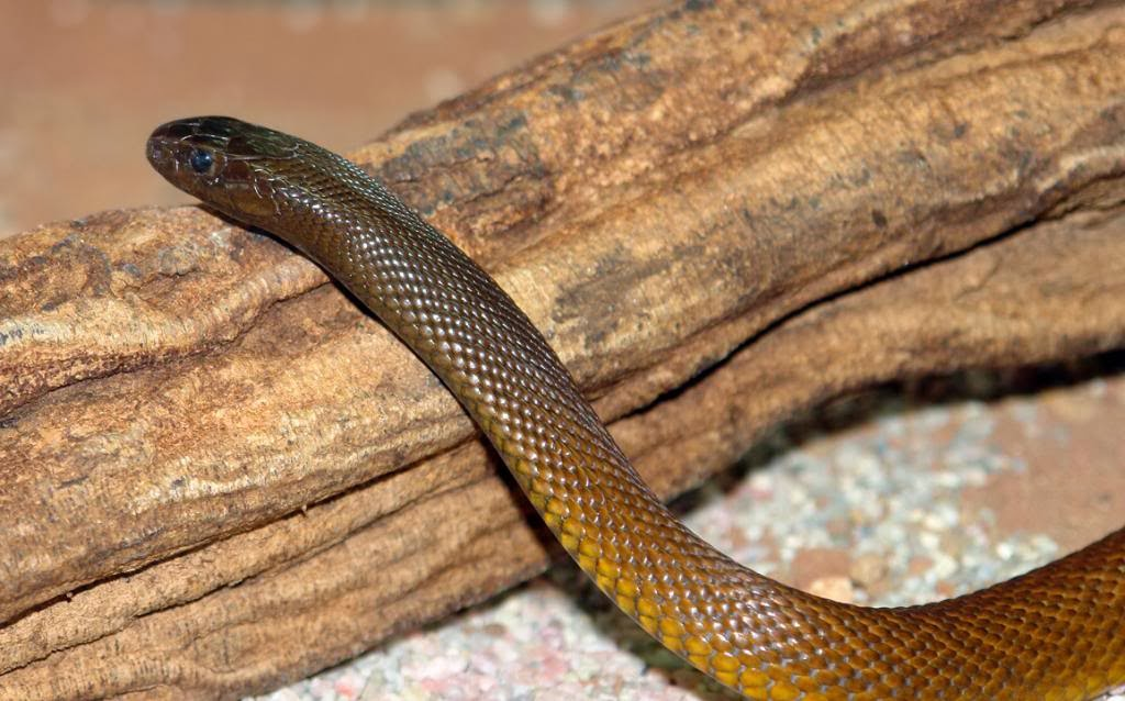 Amazing animals pictures the inland taipanhighly venomous and poison