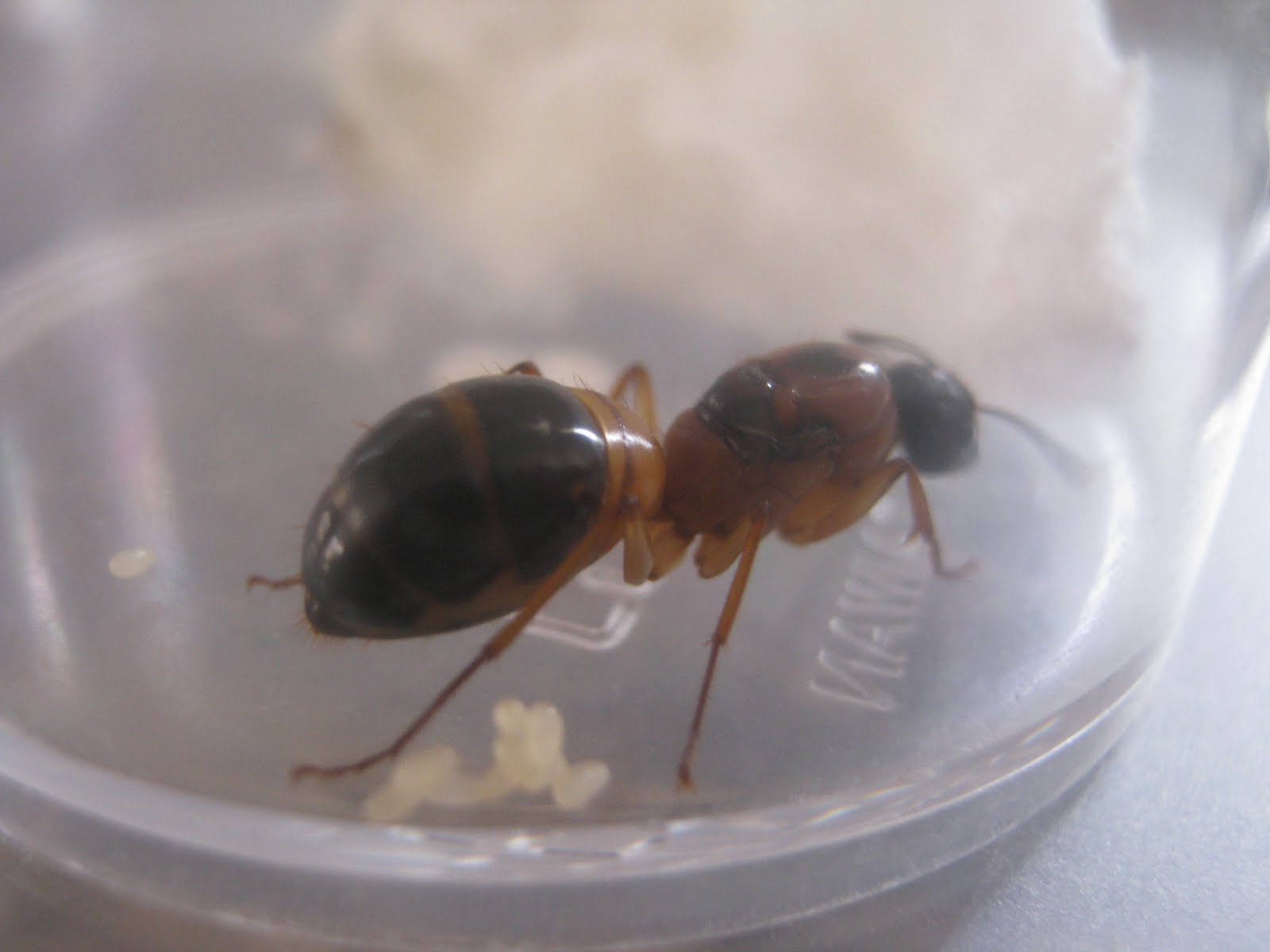 Queen Ant Eggs