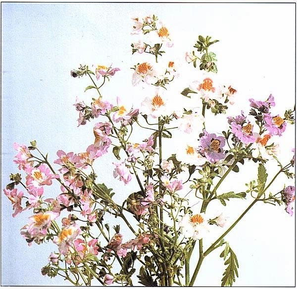 Схизантус, гибрид