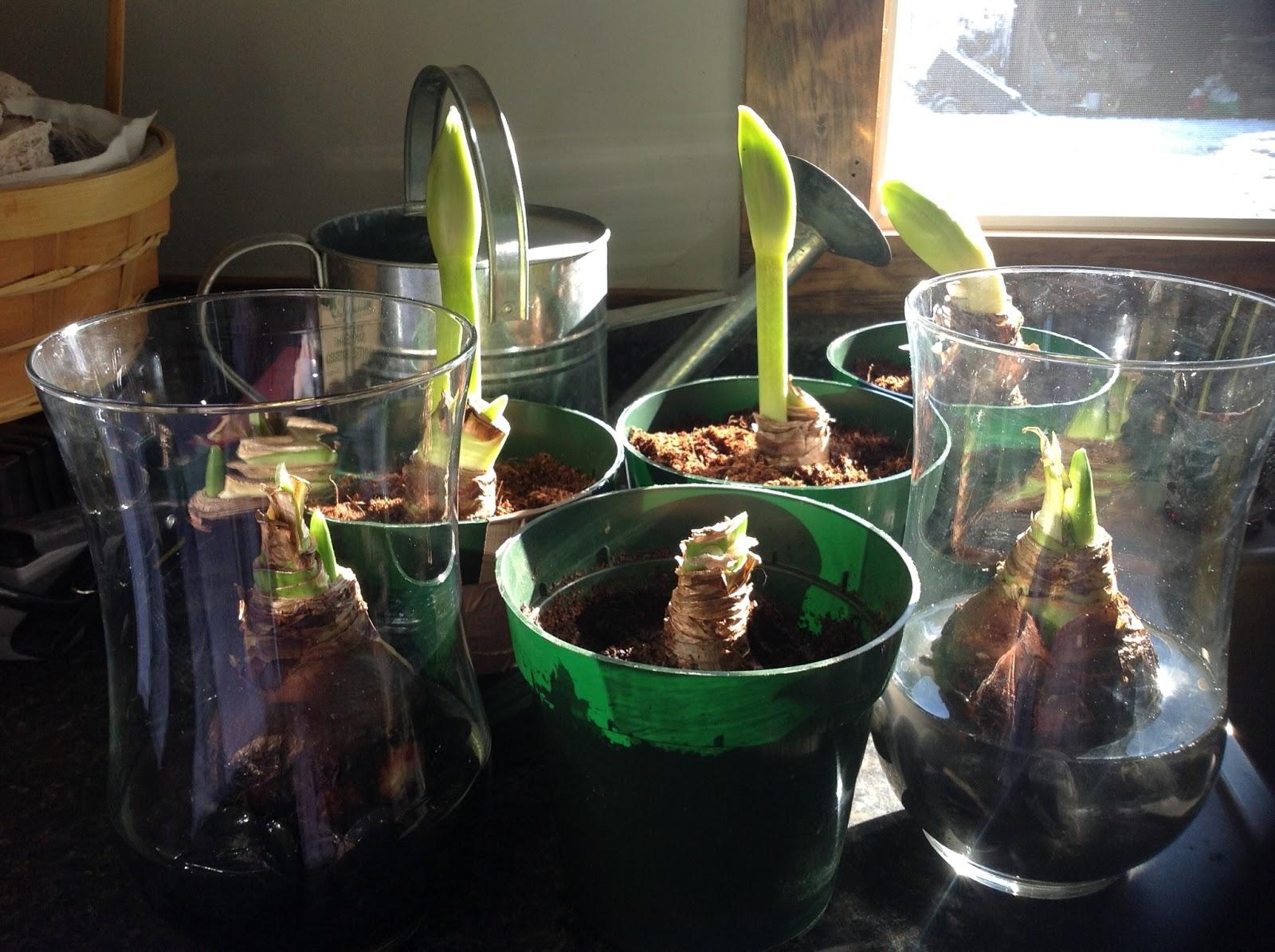 deborah hamiltons amaryllis bulbs