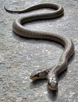 Mutasyona uğramış yılan, mutant, iki başlı yılan