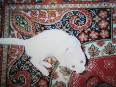 Spotlessly pure white  albino Siamese cat Trixie.
