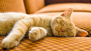 Yellow Cat Sleeping Couch Hair Funny Pussycat Pet HD Wallpaper