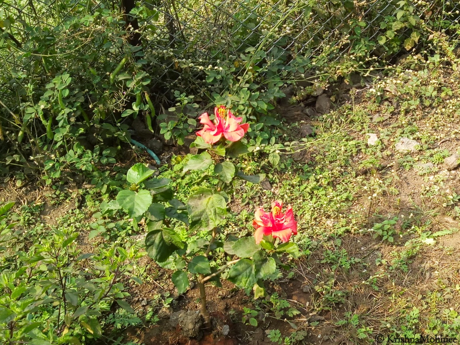 Image: Jaswand Flowers