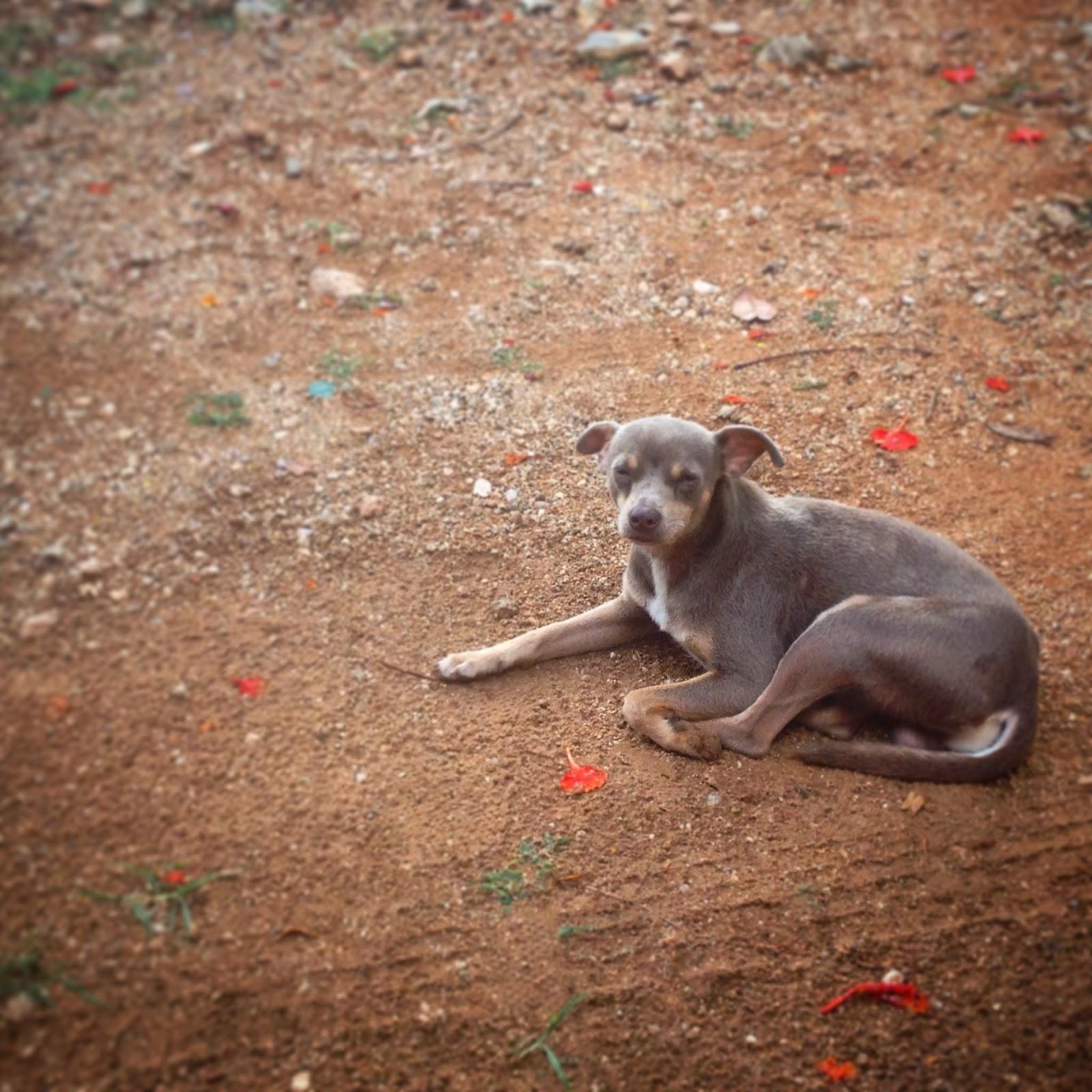 Nuestro amigo de Santa Elena, Yucatán, Pakal, a diferencia de otros lugares los perros de la zona maya están sueltos y son muy tranquilos. Al no estar amarrados apenas ladran y no son agresivos. Las zonas que aun no han recibido influencias de la cultura europea aun conservan un gran respeto por la naturaleza y los animales