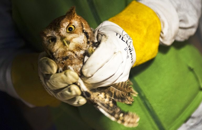 Eastern Screech Owl Rehab Katherine Frey/Washington Post)