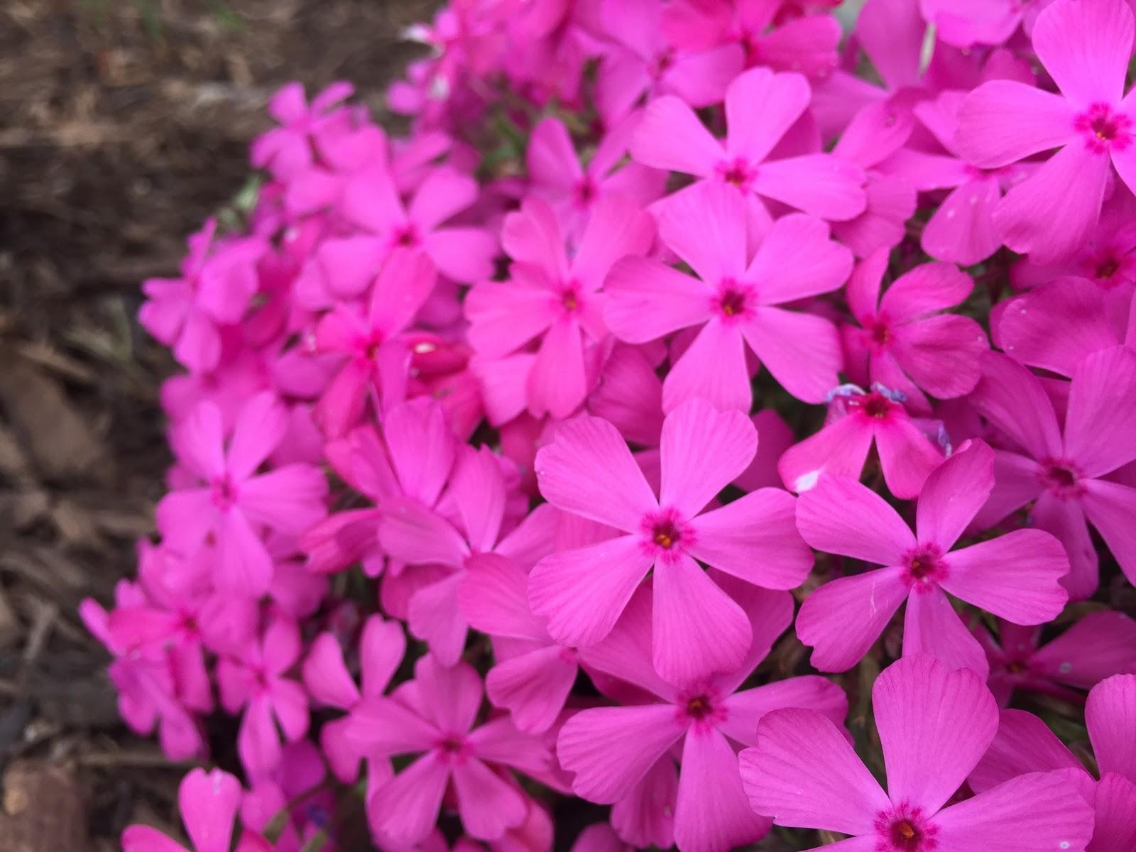Phlox subulata 'Drummond's Pink'