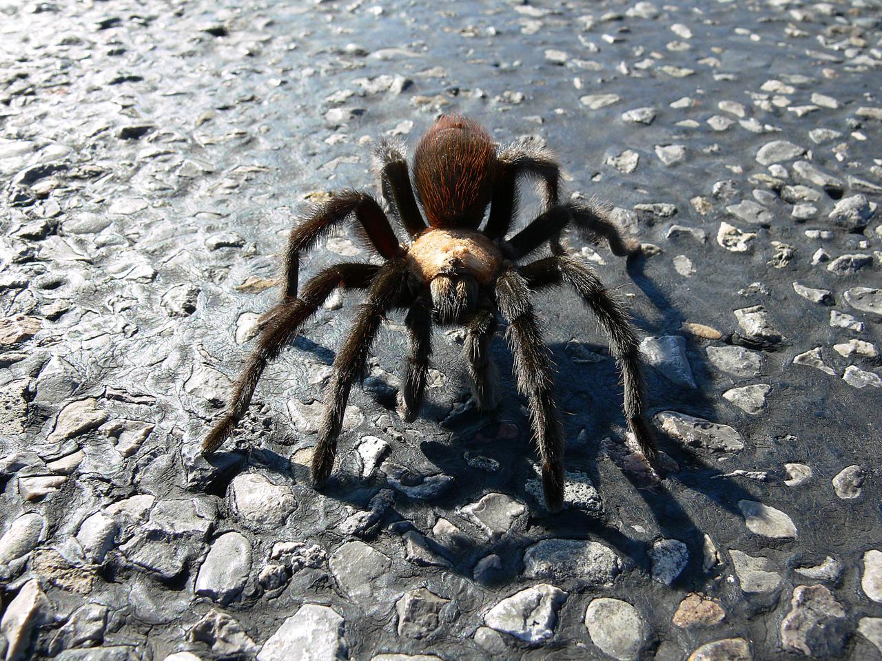 Pet tarantula on face - photo#22