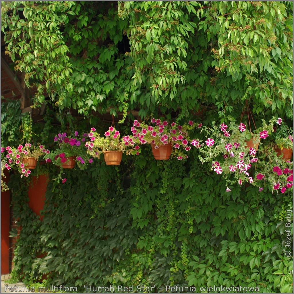 Petunia multiflora  'Hurrah Red Star' example of the application  - Petunia wielokwiatowa  przykład zastosowania