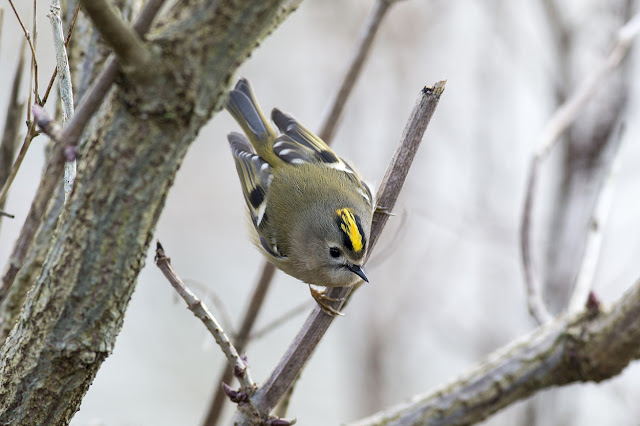 Goldcrest moving in