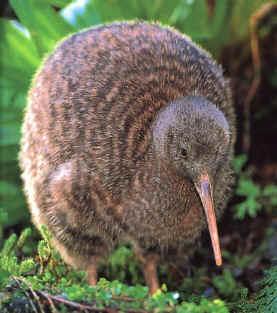 la razon de que el kiwi tenga su nombre