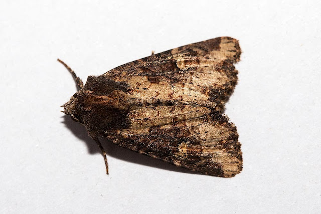 Common Rustic