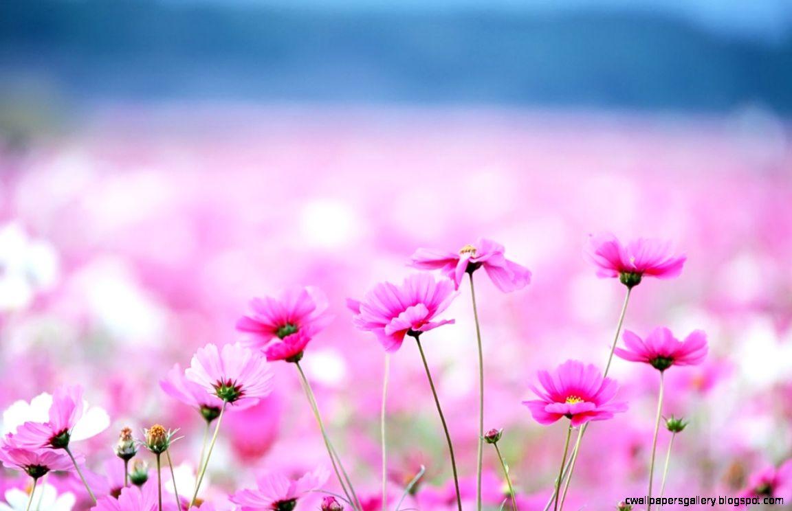 Flower Hd Wallpaper Collection 39