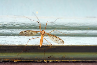 Crane fly Tipula sp
