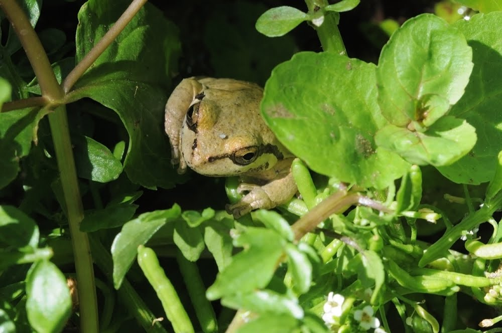 Pacific Tree Frog, Pseudacris regilla_7445