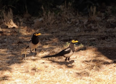Yellow-billed Magpies 7303
