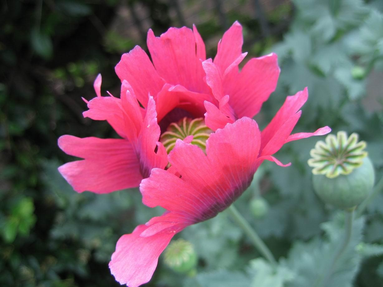 Flower Picture Poppy Flower 1