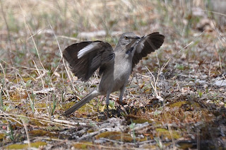 Image of a Northern Mockingbird displaying