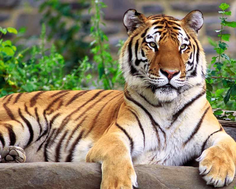 gambar hewan - foto harimau sumatera