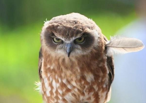 Funny animals of the week - 17 January 2014 (40 pics), angry owl