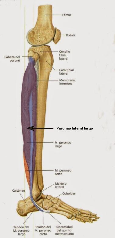 EAMT Peroneo lateral largo. Pasivo Especial Tipo I. | EAMY / VF ...