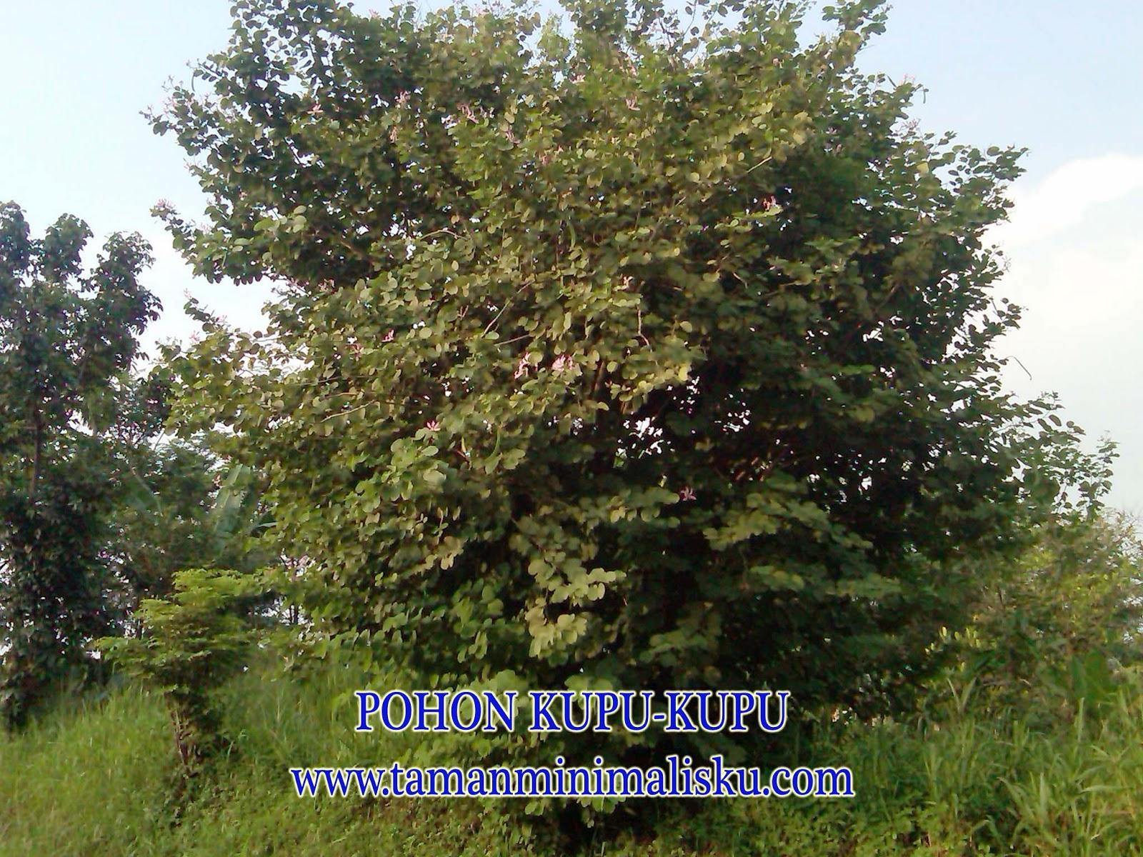 Jual pohon kupu kupu | pohon pelindung
