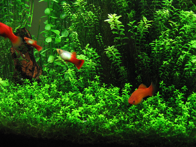 Freshwater plants for fish tanks the for Freshwater pond plants