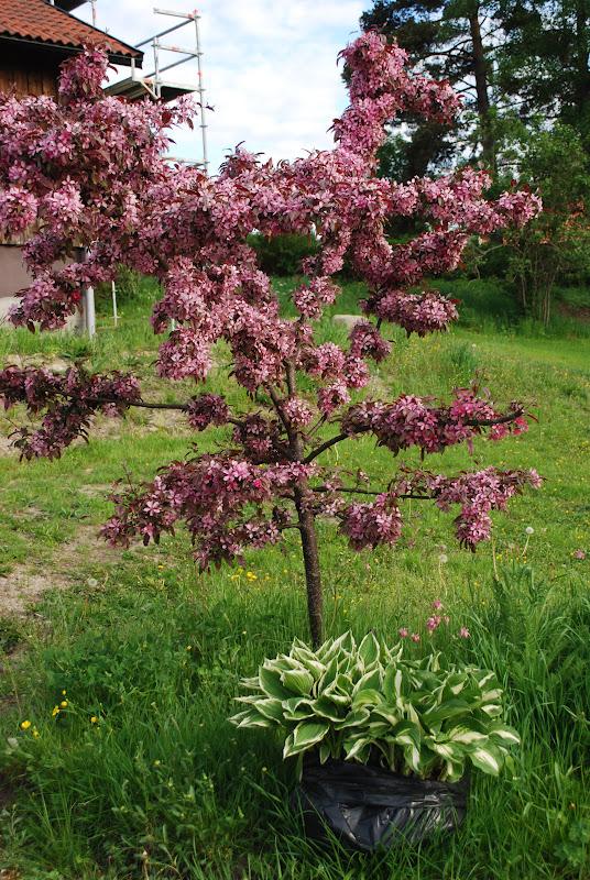 Merjas Trädgård Ett litet träd
