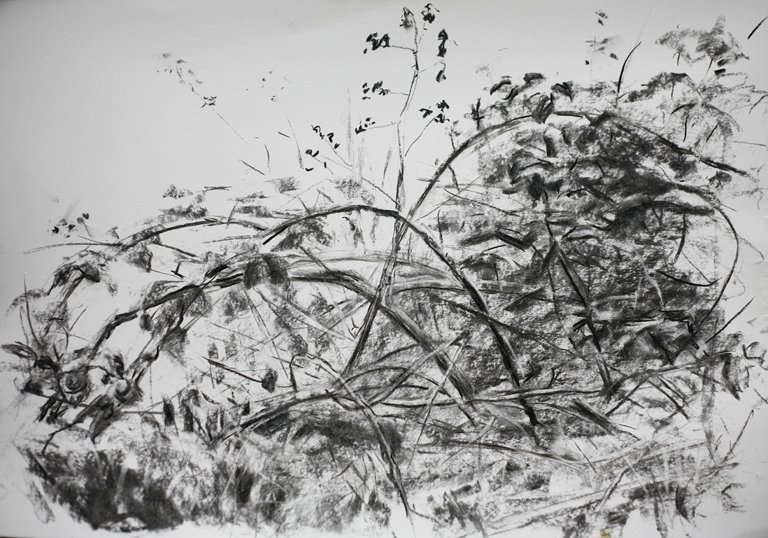 Bramble Bush Drawing Bramble Bush Charcoal