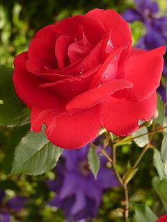Taksonomi Bunga Mawar