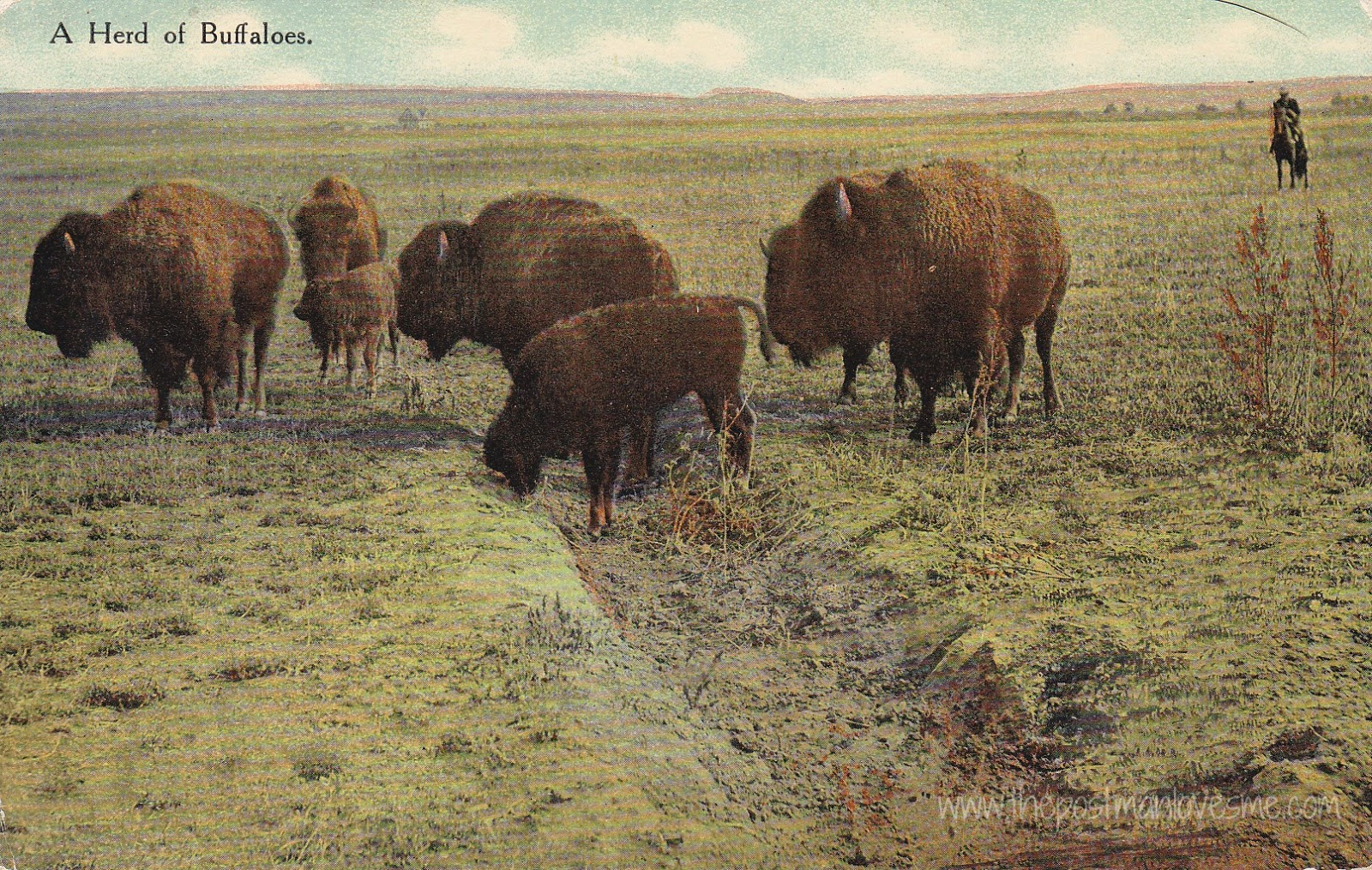 Vintage Postcard: A Herd of Buffaloes