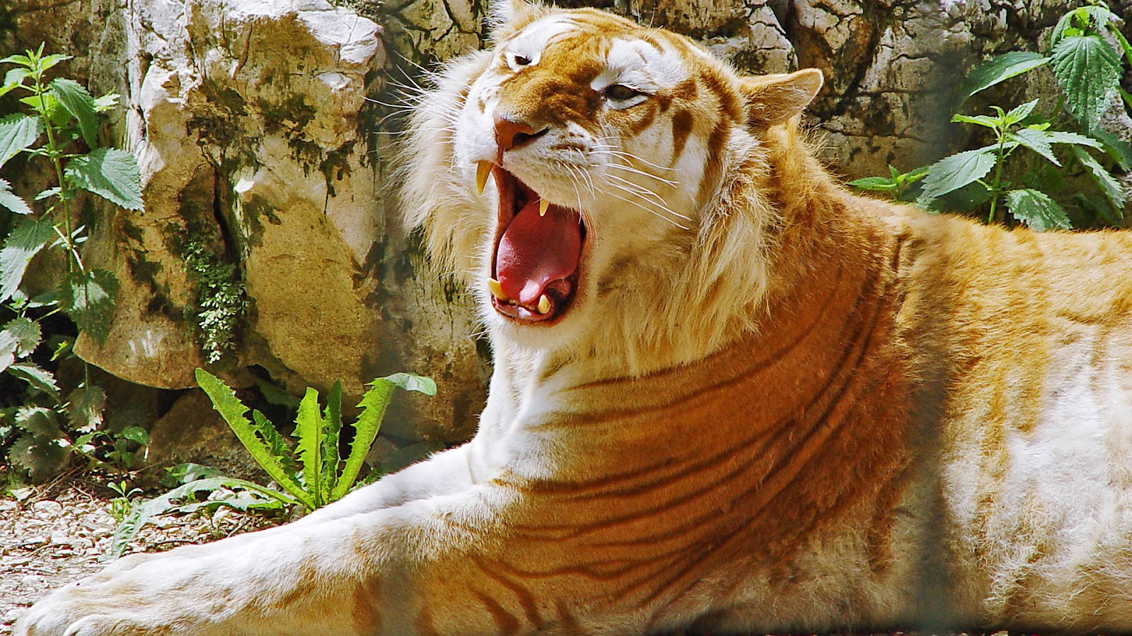 Top 35 Most Beautiful Tiger Wallpapers Warner Buzz