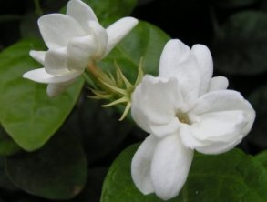 How To Take Care of Jasmine Plants From Pests and Diseases