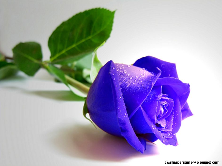 Blue Rose  Flower Meanings Pictures and Photos