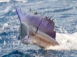 Gila Mancing Dapat Ikan Layaran Ikan Monster 3 In 1