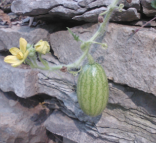 watermelon hanging off retaining wall