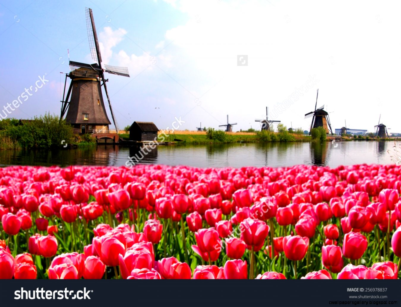 Vibrant Pink Tulips With Dutch Windmills Along A C