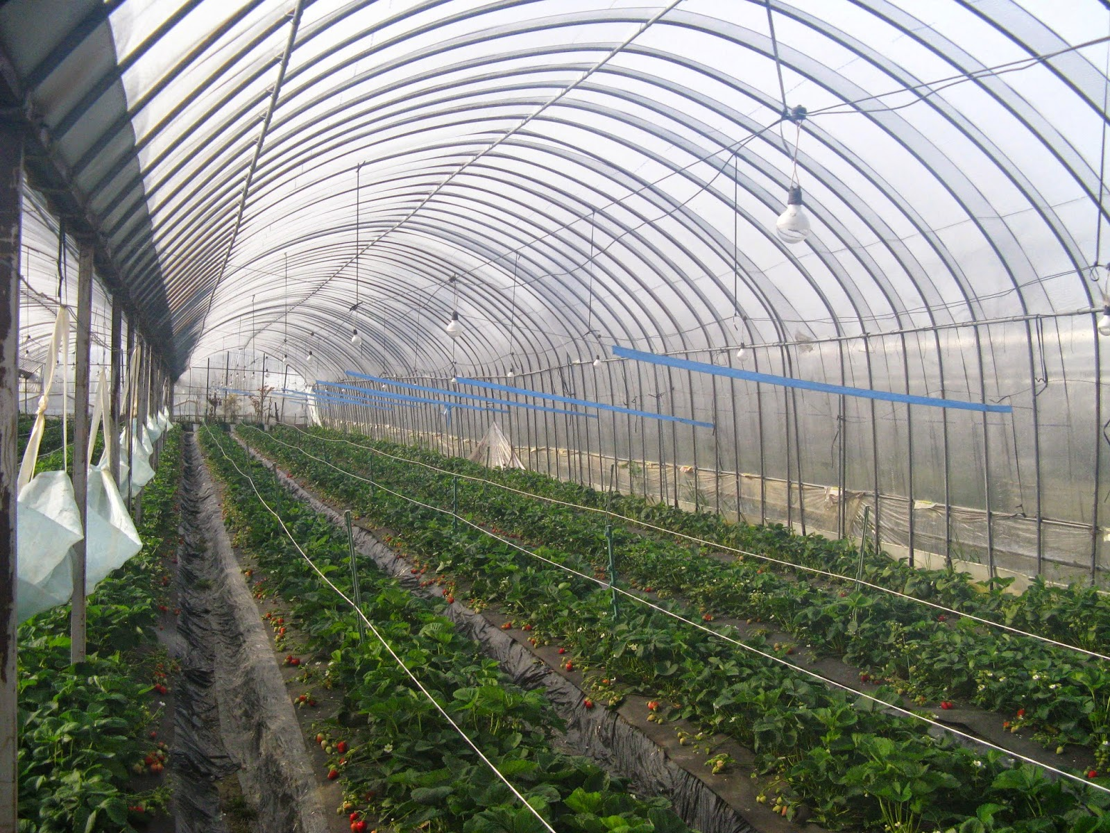Japanese Strawberry Farm