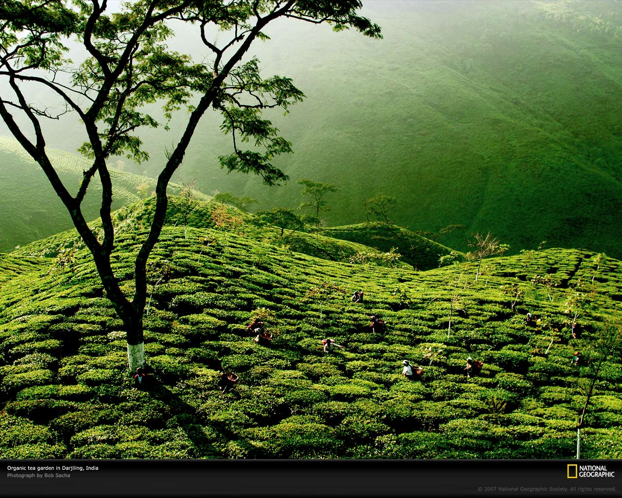 Beautiful green tea gardens hd wallpapers desktop wallpapers for Beautiful garden images hd