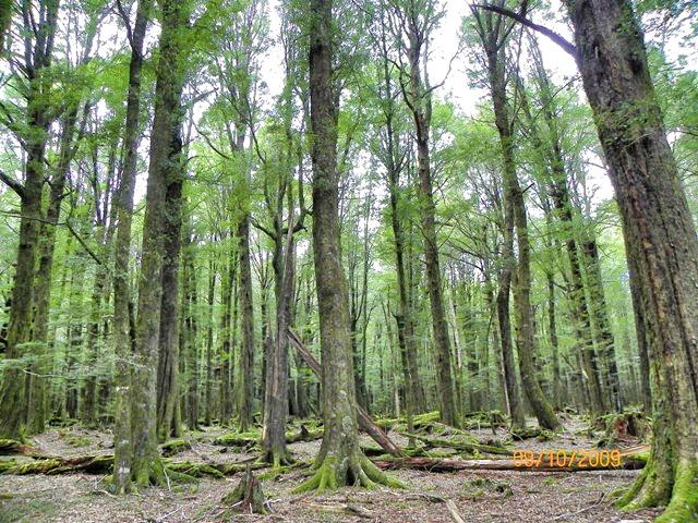 Bosques de Lothlorien en Glenorchy