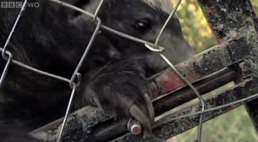 This honey badger is probably the world's best animal escape artist