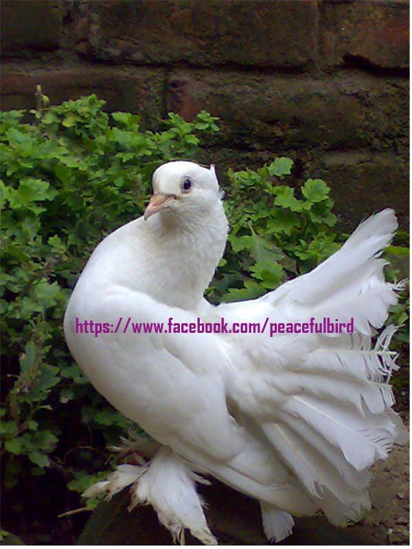Pigeons: Pigeon Diseases