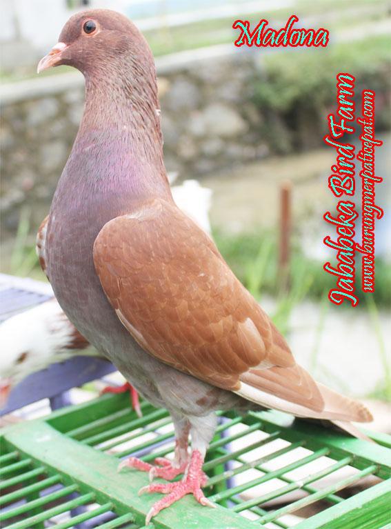 Search Results Jual Burung Merpati Berkelas Dan Berkualitas .html - Autos Weblog