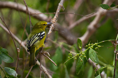 Photograph of a female Common Iora taken in Yala, Sri Lanka