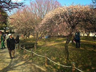 第20回越谷梅林公園梅まつり