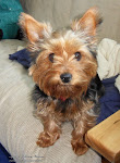 Missy our adorable Yorkie
