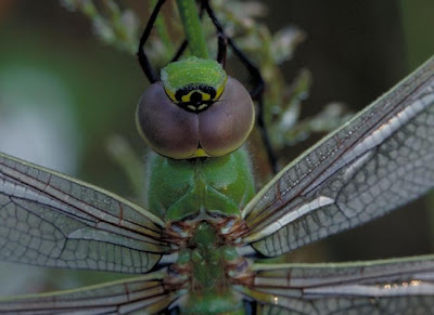 libelula verde Anax junius