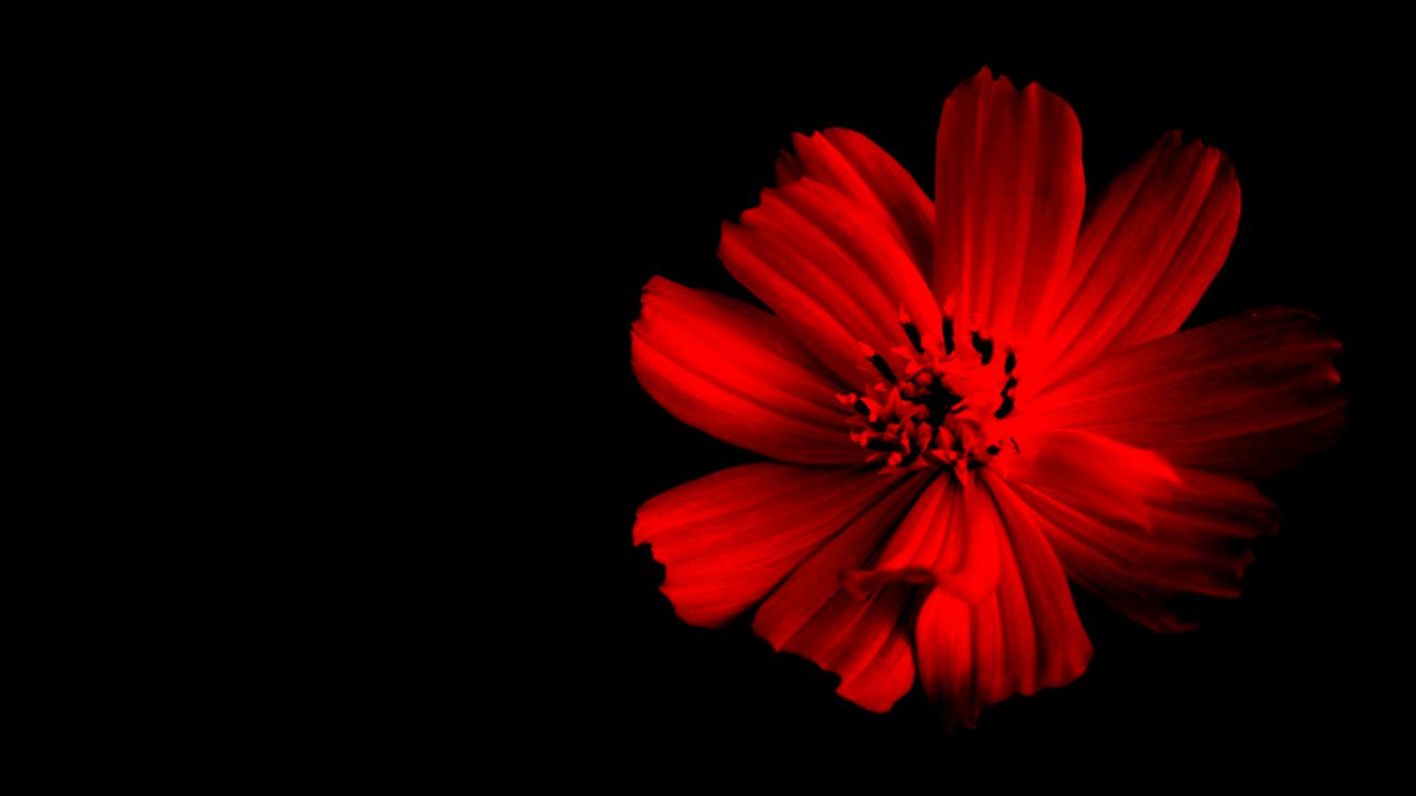 single flower with dark background  Paul Chong Photography