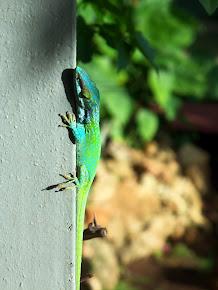 Island Lizard