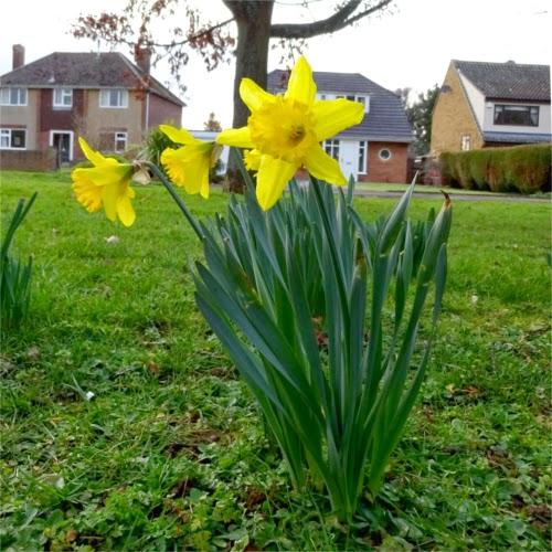 Narciso, primavera en Inglaterra